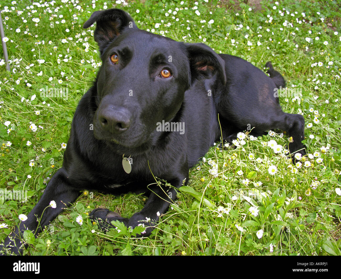 black hybrid dog Labrador Border Collie mix on a meadow with flowering daisies Stock Photo