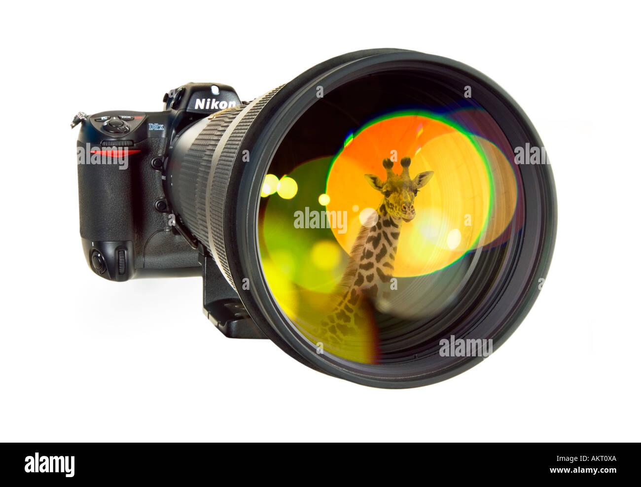 wildlife photographer ´s hand tool telephoto telephoto lens telephotolens tele reflex camera mirroring a wild giraffe Stock Photo