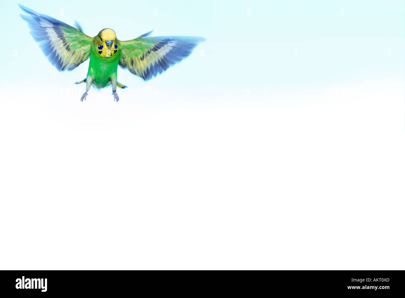 green budgie flying in the air motion action PANORAMA budgerigar - Stock Image
