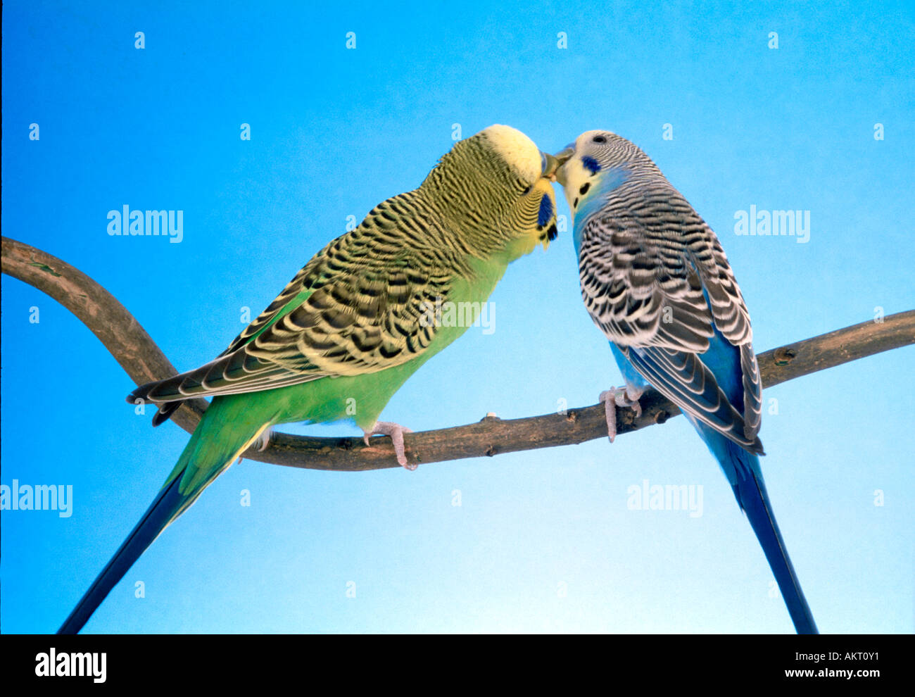 2 two pair couple green and blue budgie feeding each other love kiss kissing    sitting on a branch budgerigar - Stock Image