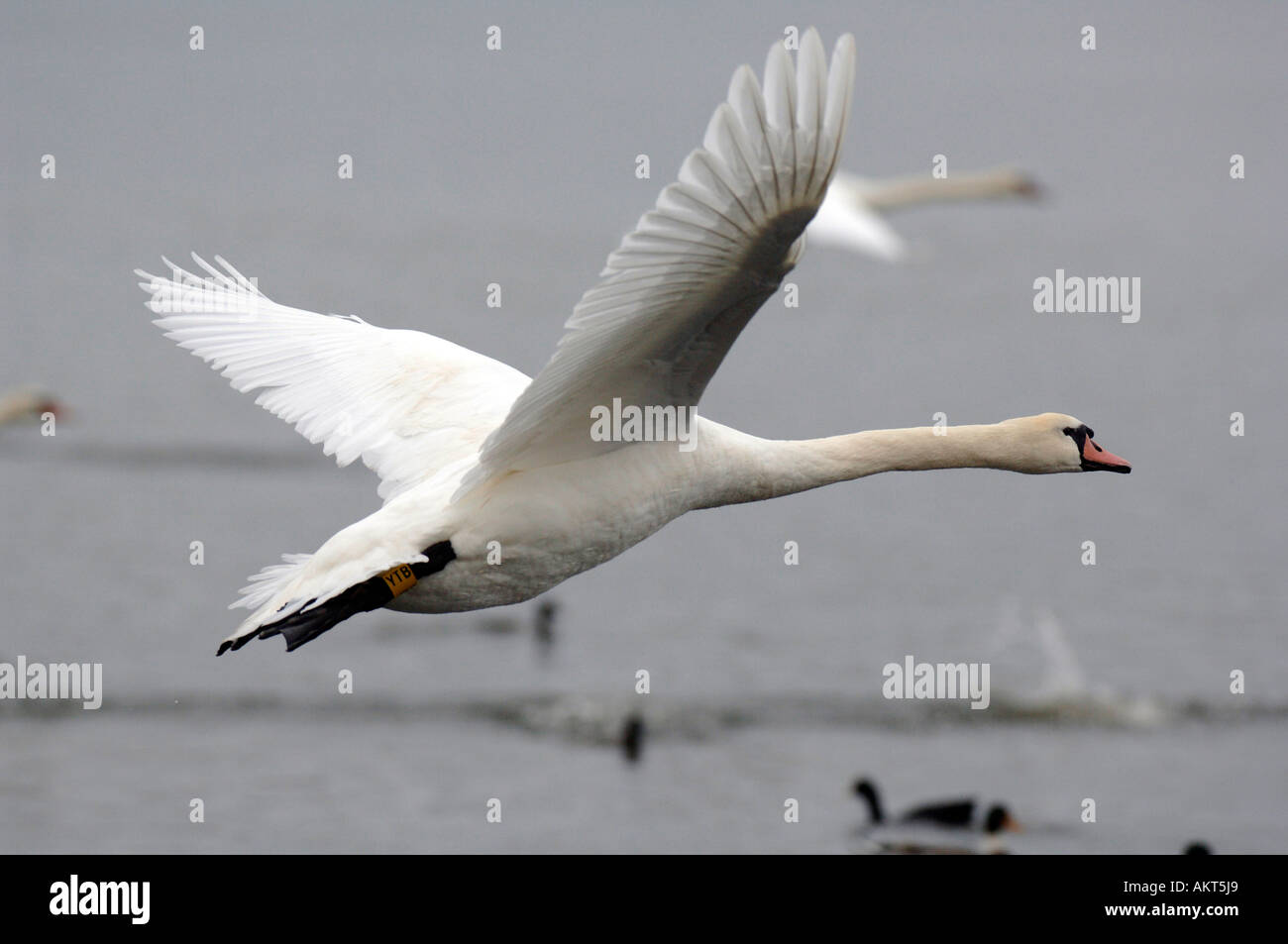 Swans at Abbotsbury swannery in Dorset - Stock Image