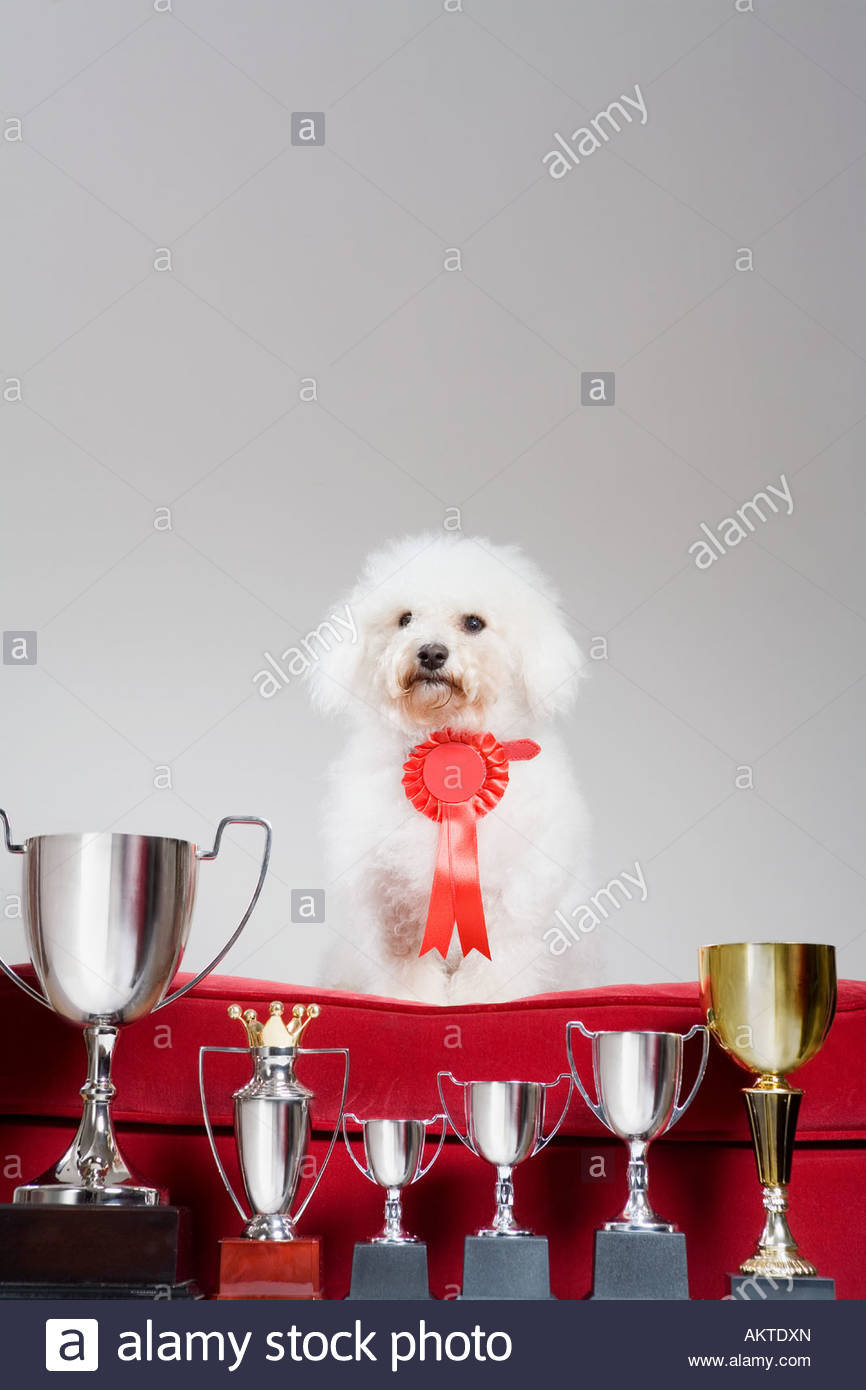 Dog with a row of trophies - Stock Image