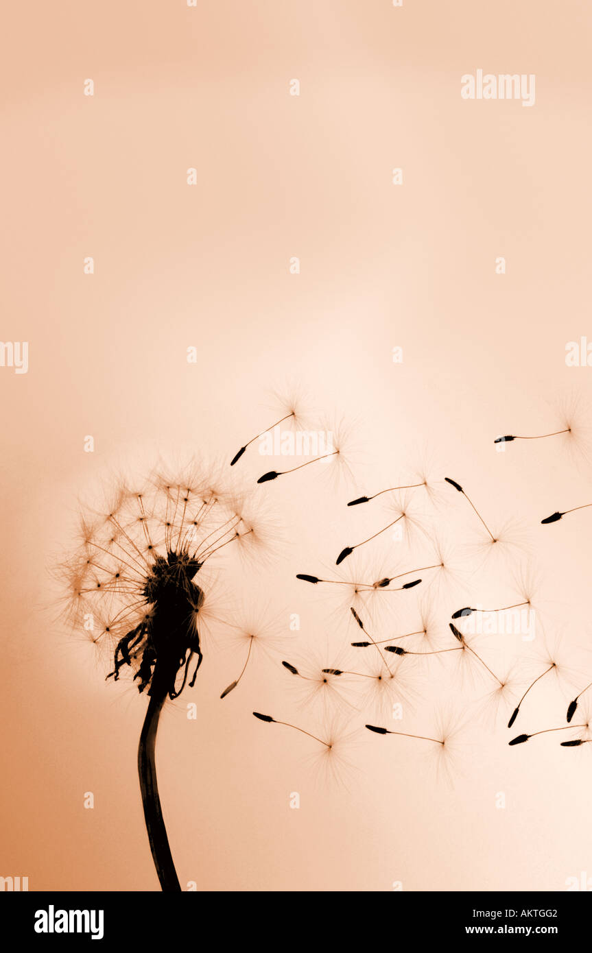 Dandelion flower with seeds being bown away by the wind Concept metaphor for business growth - Stock Image