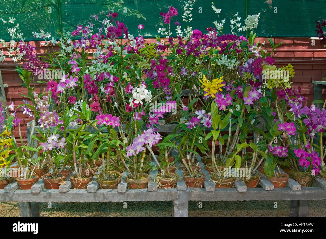Orchids In Bloom Stock Photo 15073284 Alamy