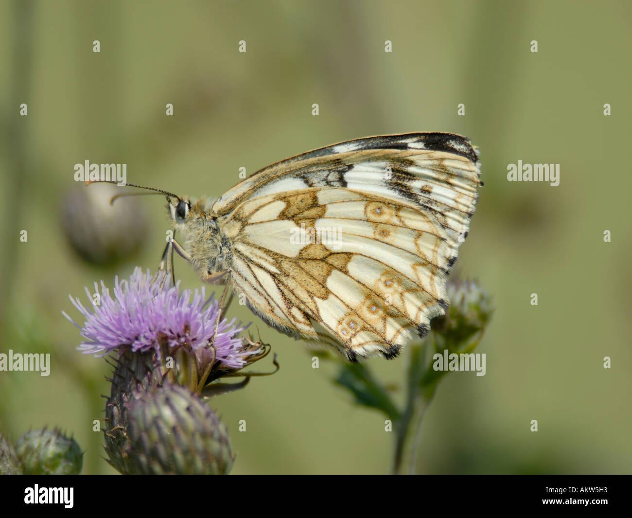 Female Marbled White butterfly Melanargia galathea feeding on a creeping thistle Stock Photo