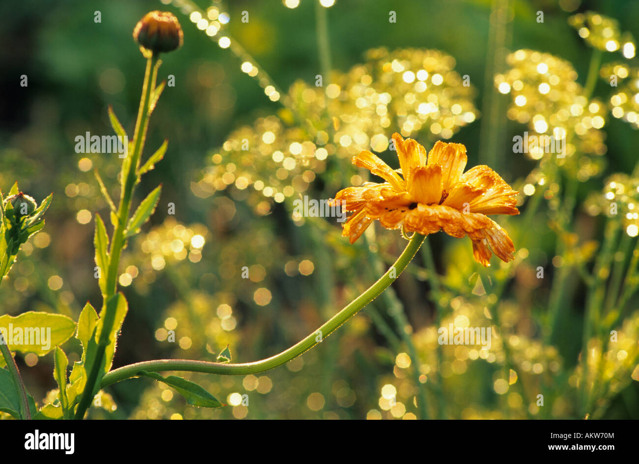 French Marigold and Parsley gone to seed. - Stock Image