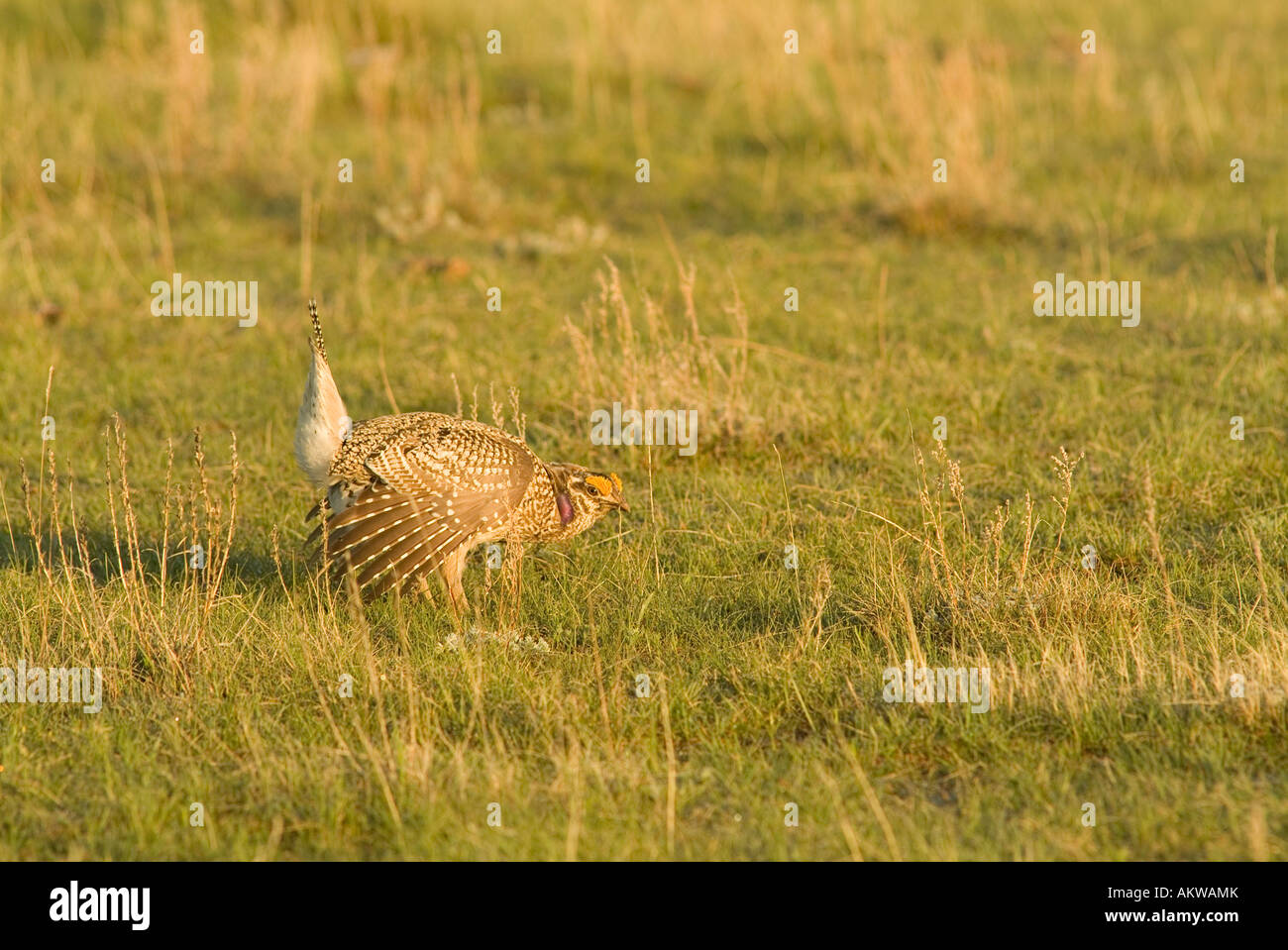 A male sharp tailed grouse dances on a lek north of Mandaree Nort Dakota - Stock Image