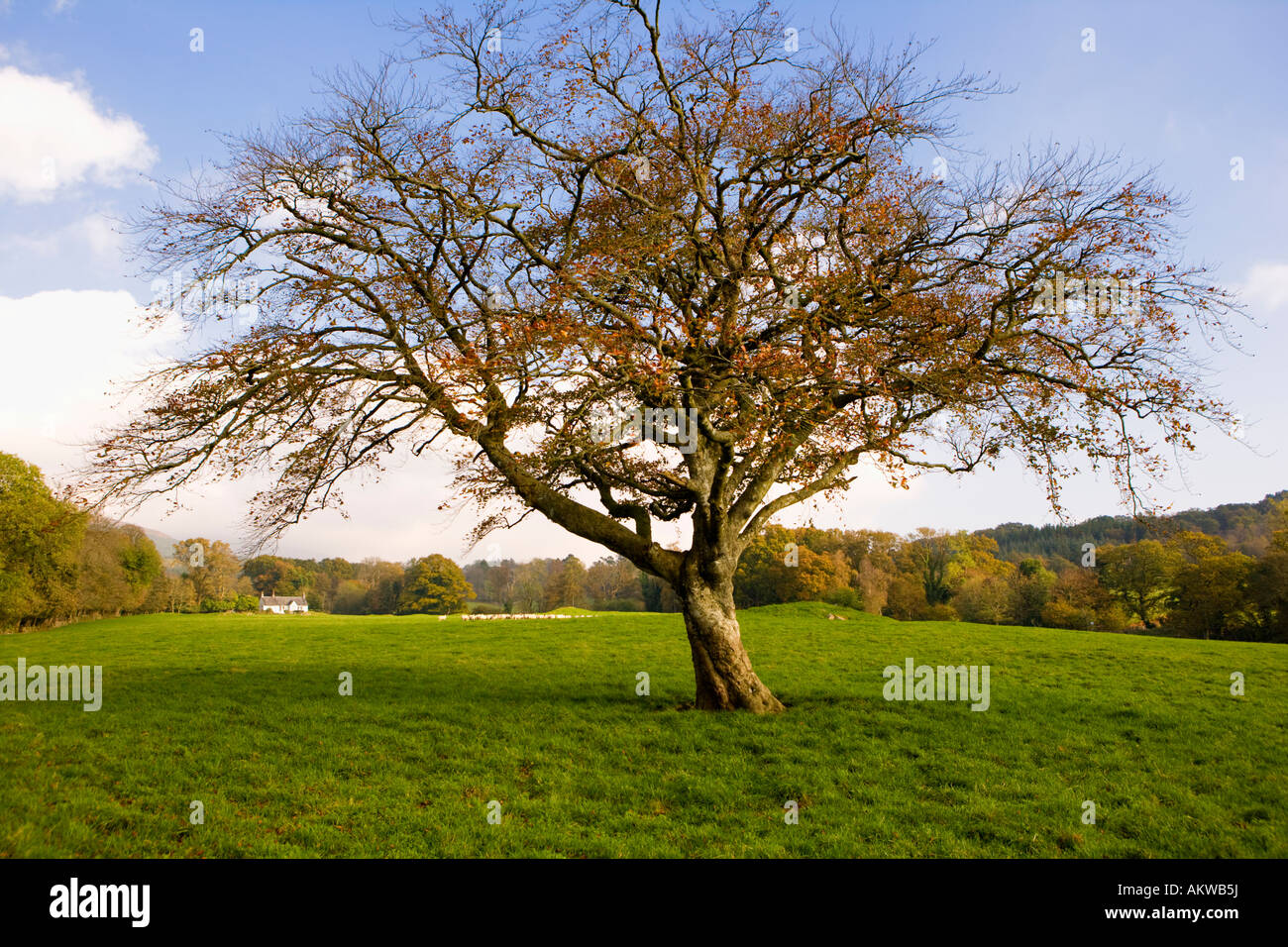 Autumn a nearly bare beech tree in the middle of a field of grass in the Galloway landscape Scotland UK - Stock Image