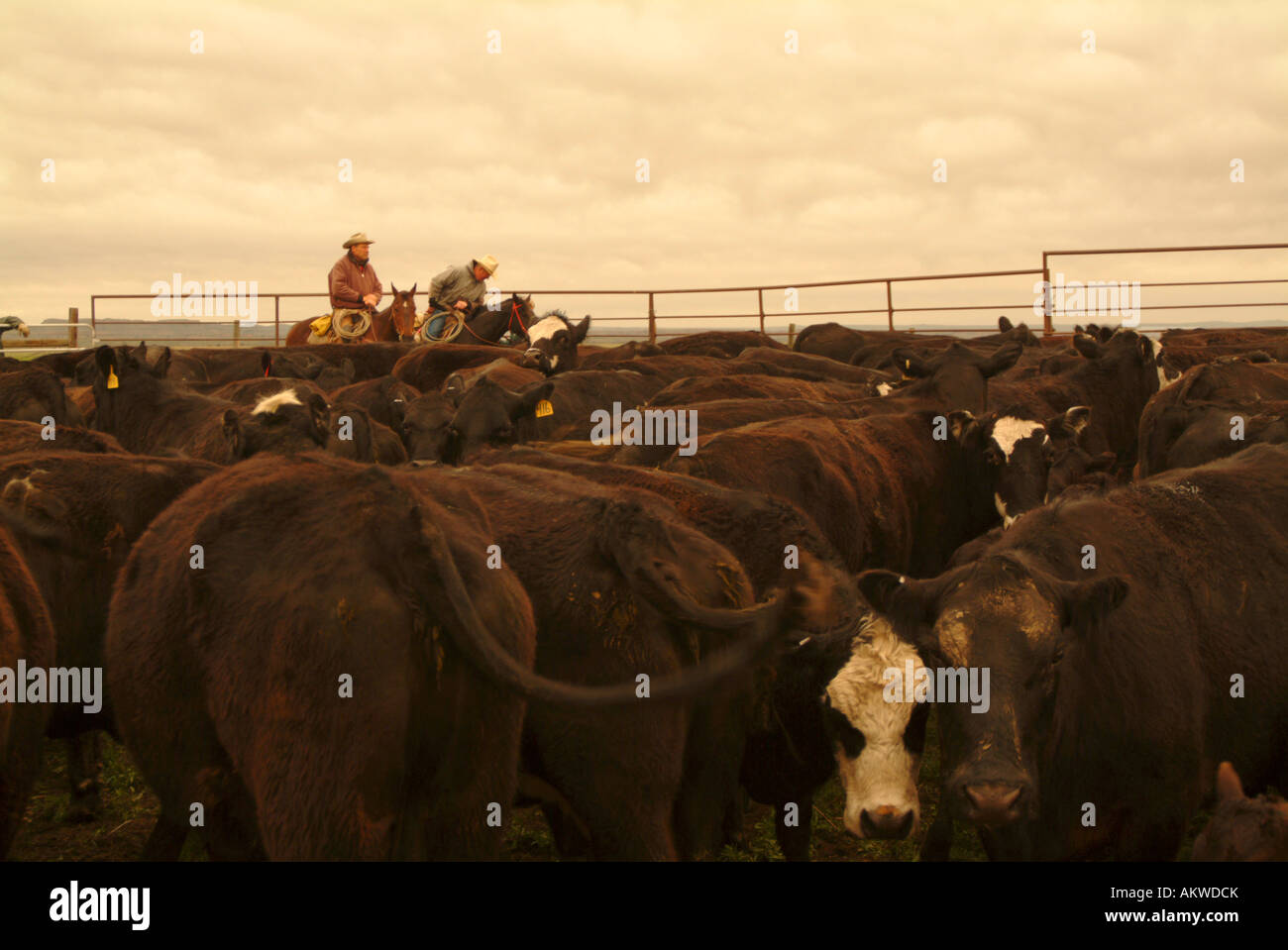 Ranchers working cattle on Logging Camp Ranch North Dakota - Stock Image