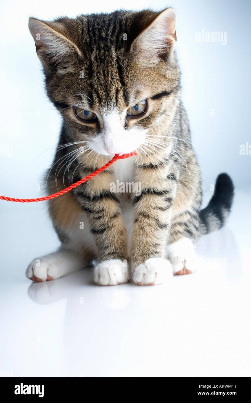 Domestic Cat, kitten, close-up - Stock Image