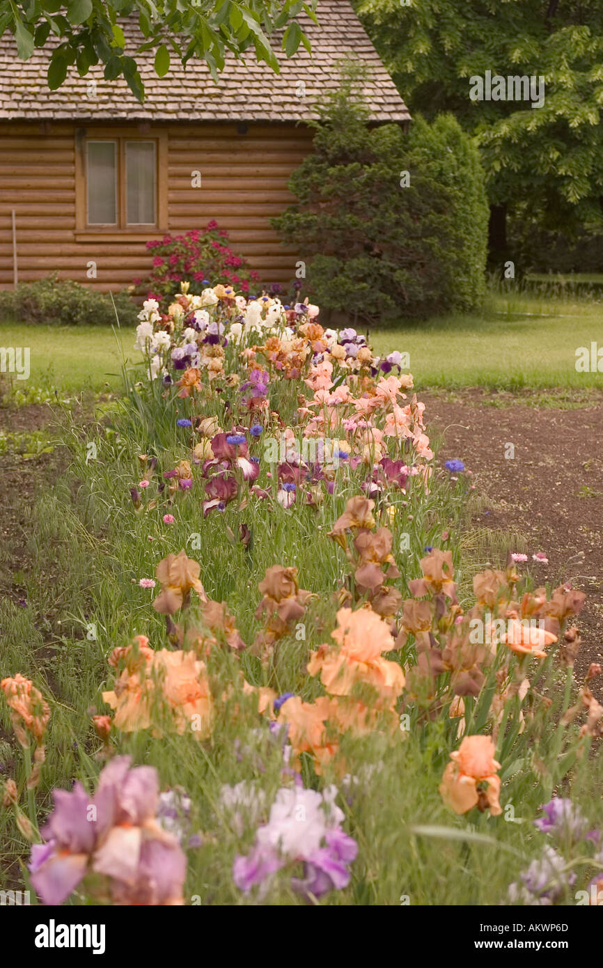 Mom\'s iris garden with thier log home in the background Stock Photo ...