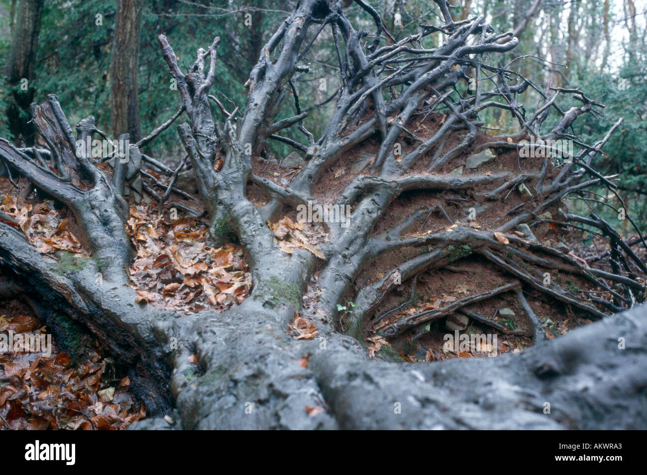 Roots of fallen tree Worlebury Weston super Mare Somerset - Stock Image