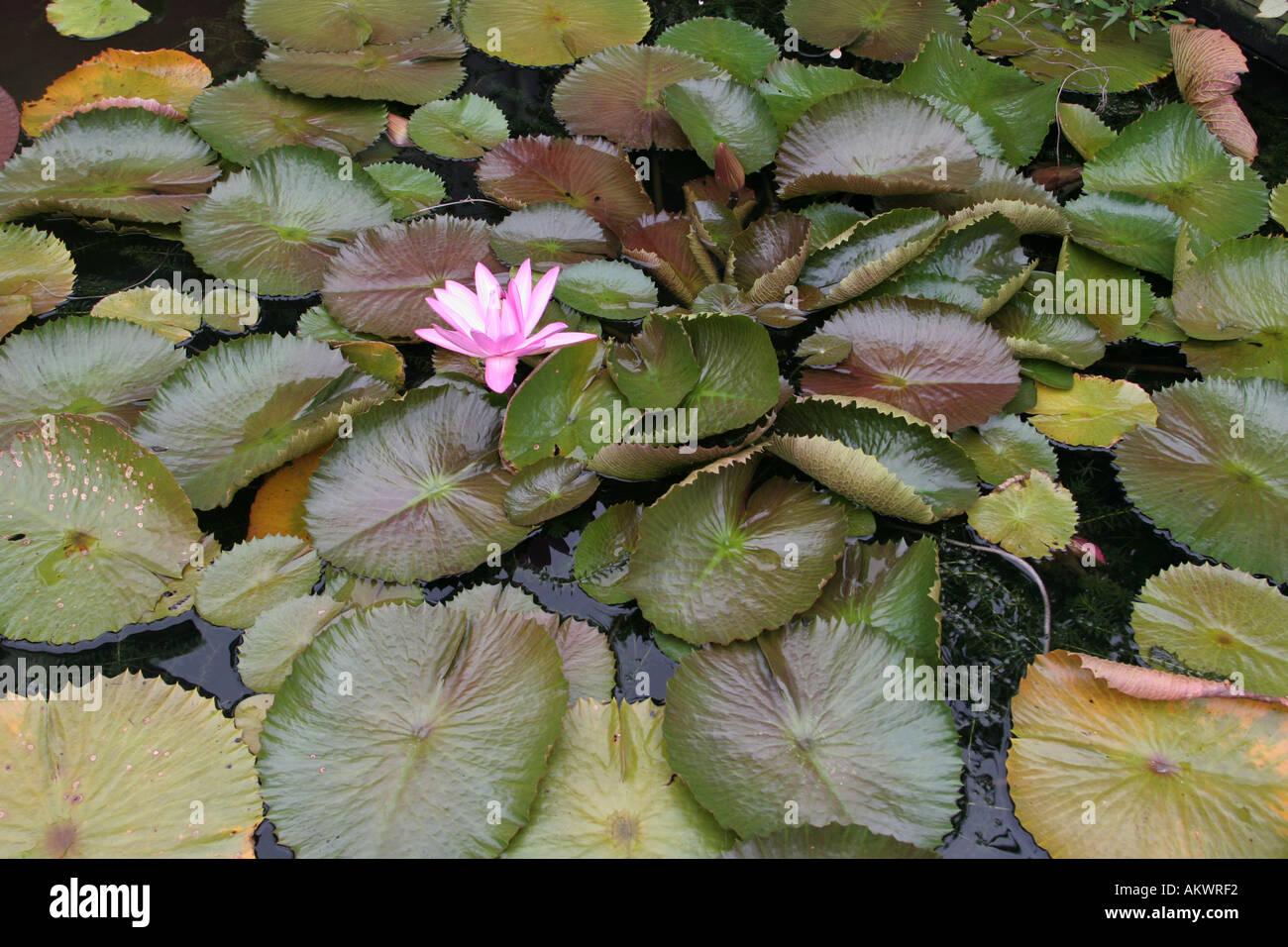 Water Lily American Aquatic Gardens New Orleans Louisiana Usa