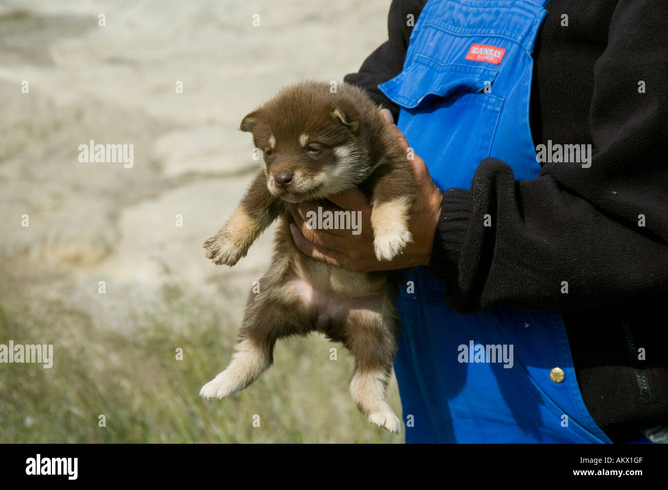 Dog breeder is holding Greenland dog puppy in his hand