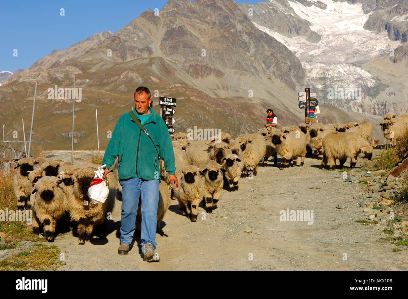 Shepard with a flock of Valaisian Black Nose Sheep, Zermatt, Valais, Switzerland - Stock Image