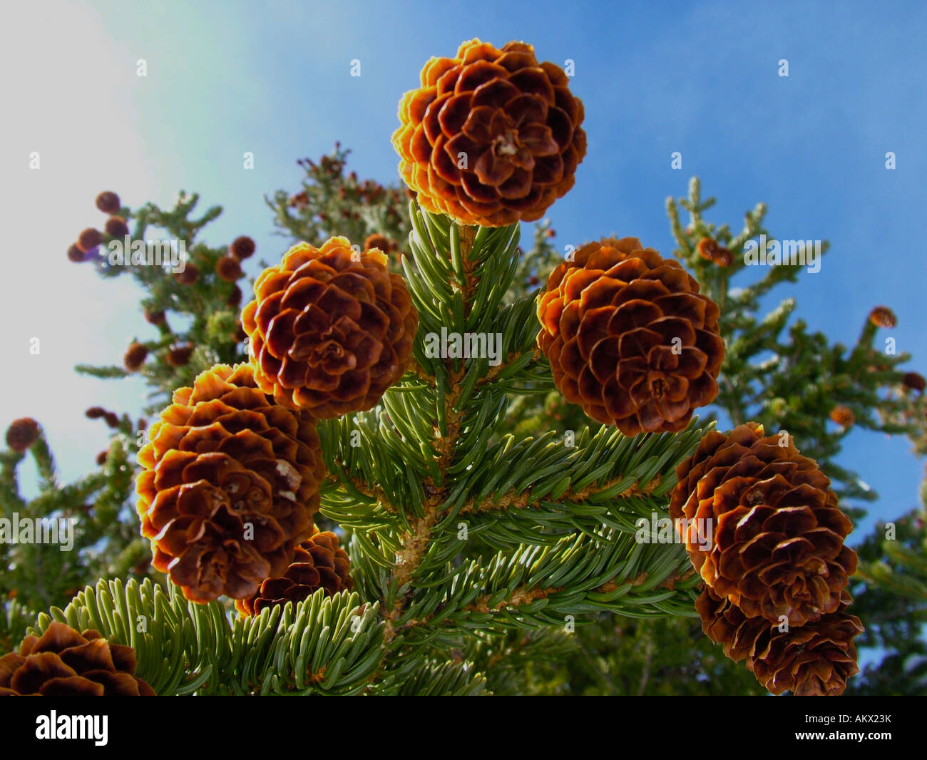 Pine cone on a conifer tree in Rocky Mountain National Park, Colorado, United States, North America - Stock Image