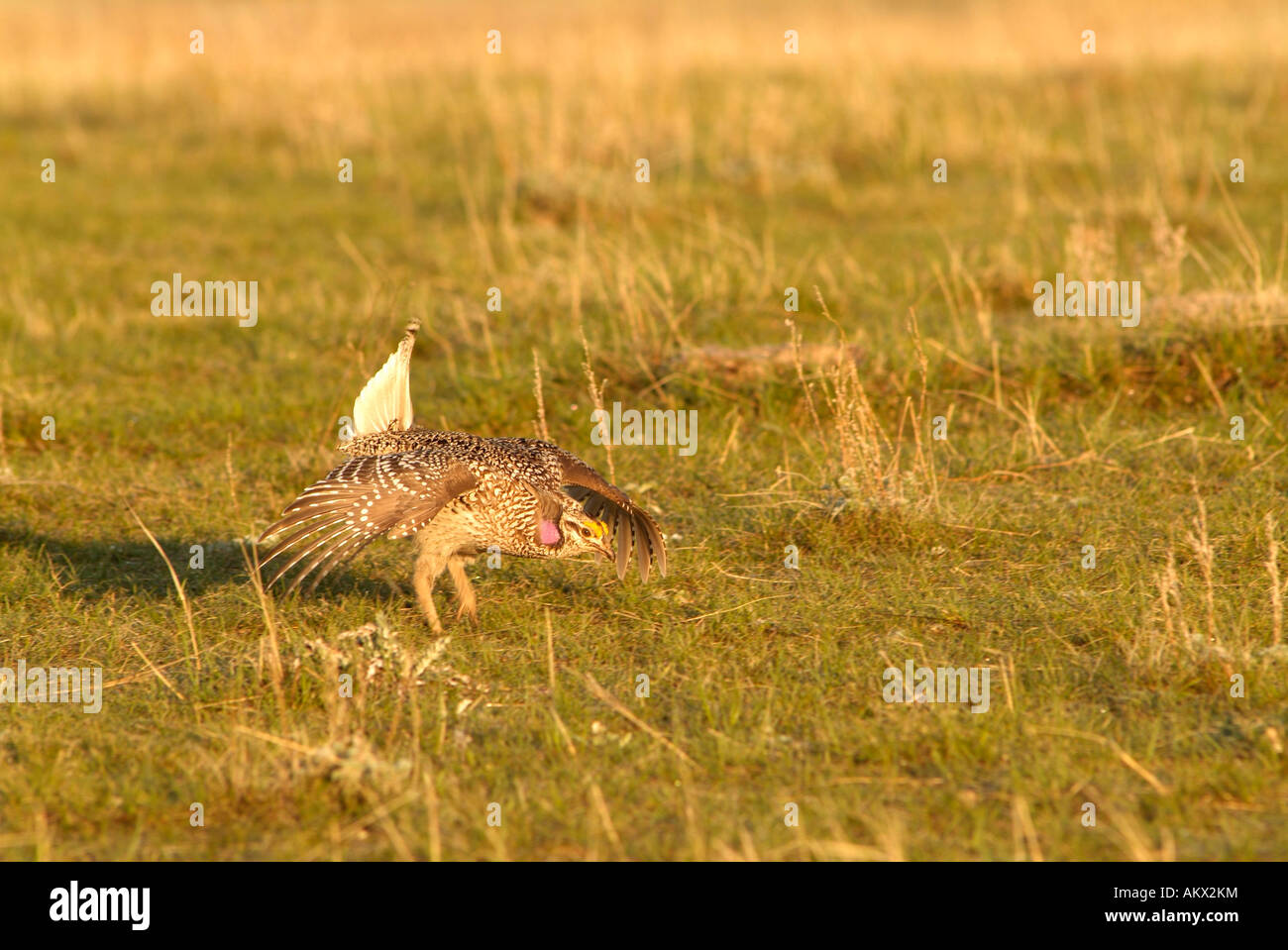 A male sharp tailed grouse dances on a lek north of Mandaree North Dakota - Stock Image