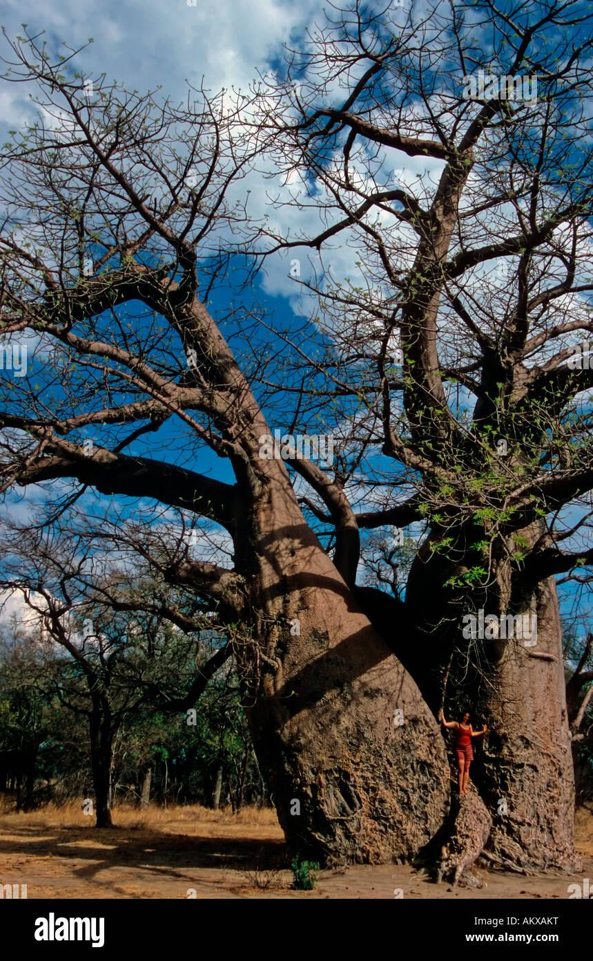 Thousand years old Baobab tree (Adansonia digitata), size comparison with human, Grootfontein, Namibia, Africa - Stock Image