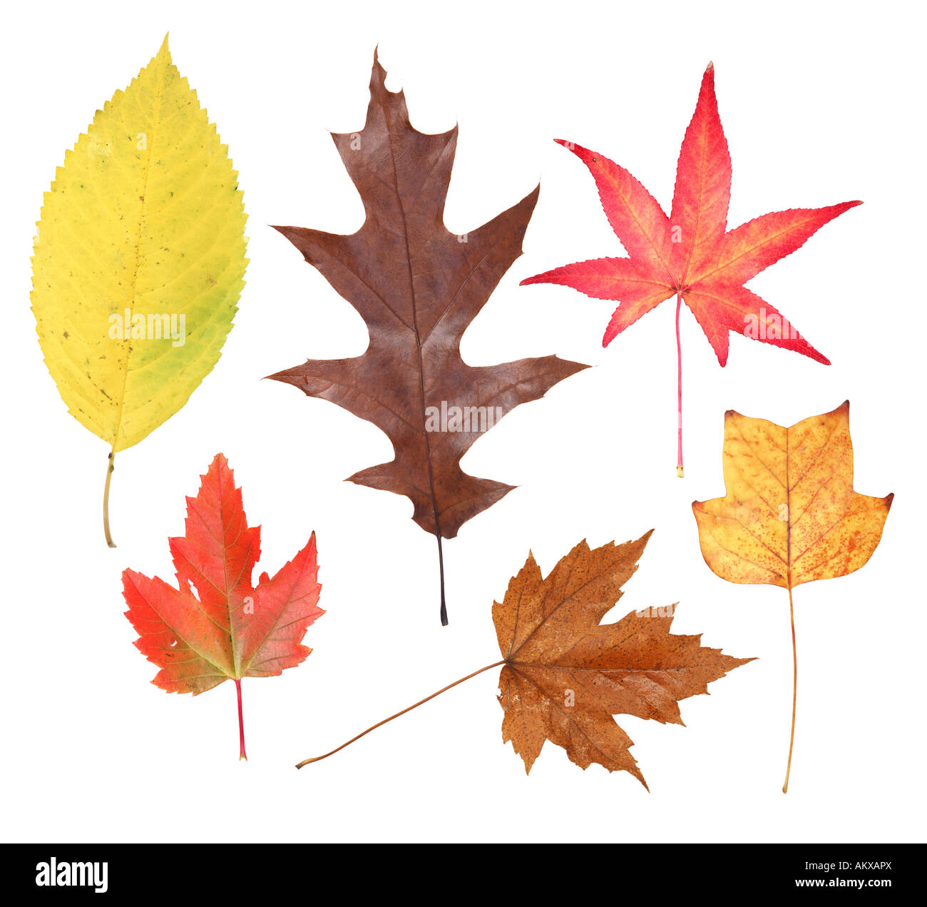 - Variety Of Fall Leaves Cut Out On White Background Stock Photo