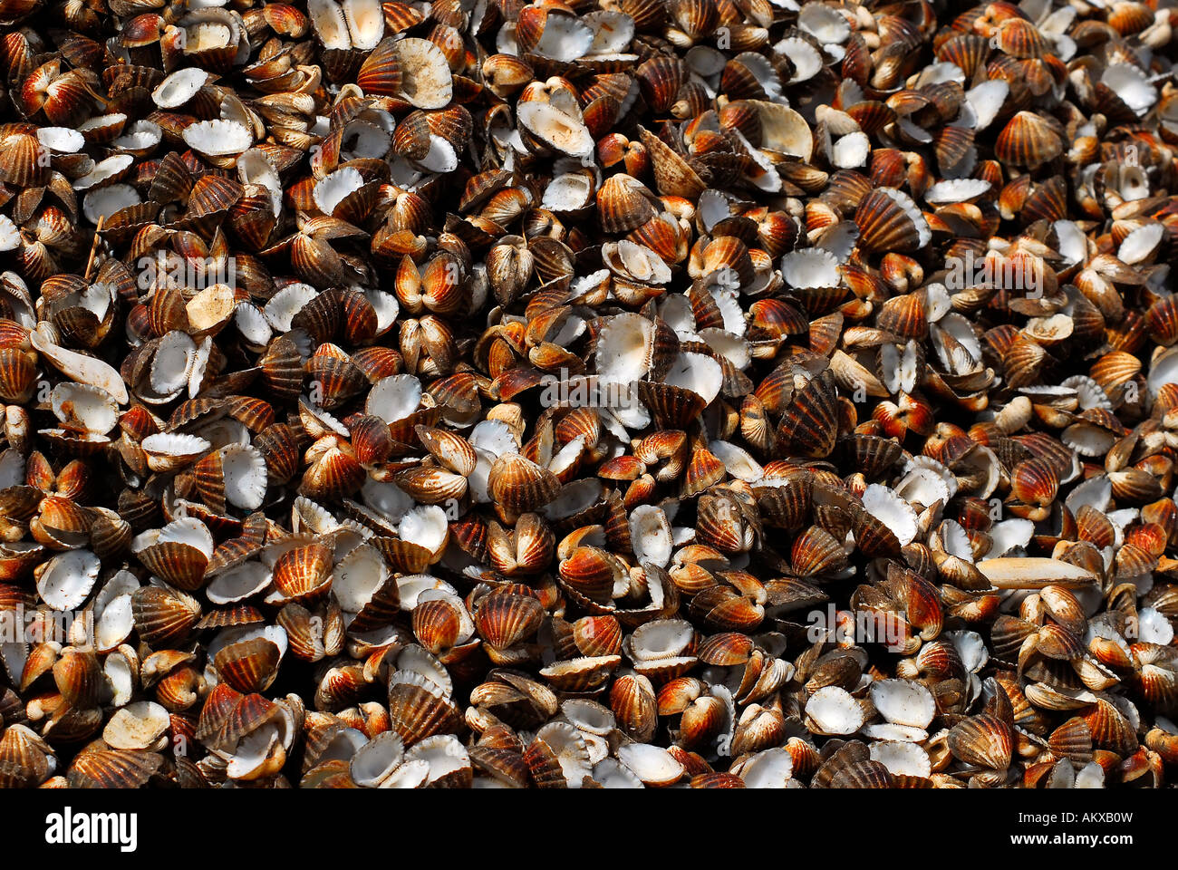 Large quantities of empty conches Stock Photo
