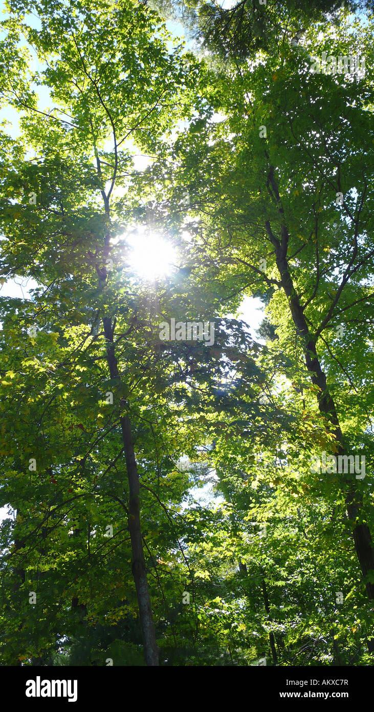 Sun rays peeking through forest trees. Sun ray through trees. - Stock Image