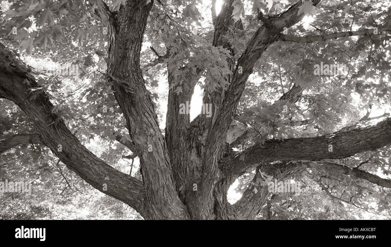 Diverging networked tree branches. - Stock Image