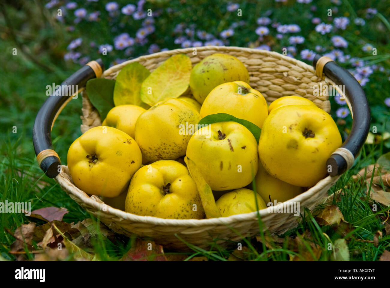 Basket with freshly harvested quinces (Cydonia oblonga) Stock Photo