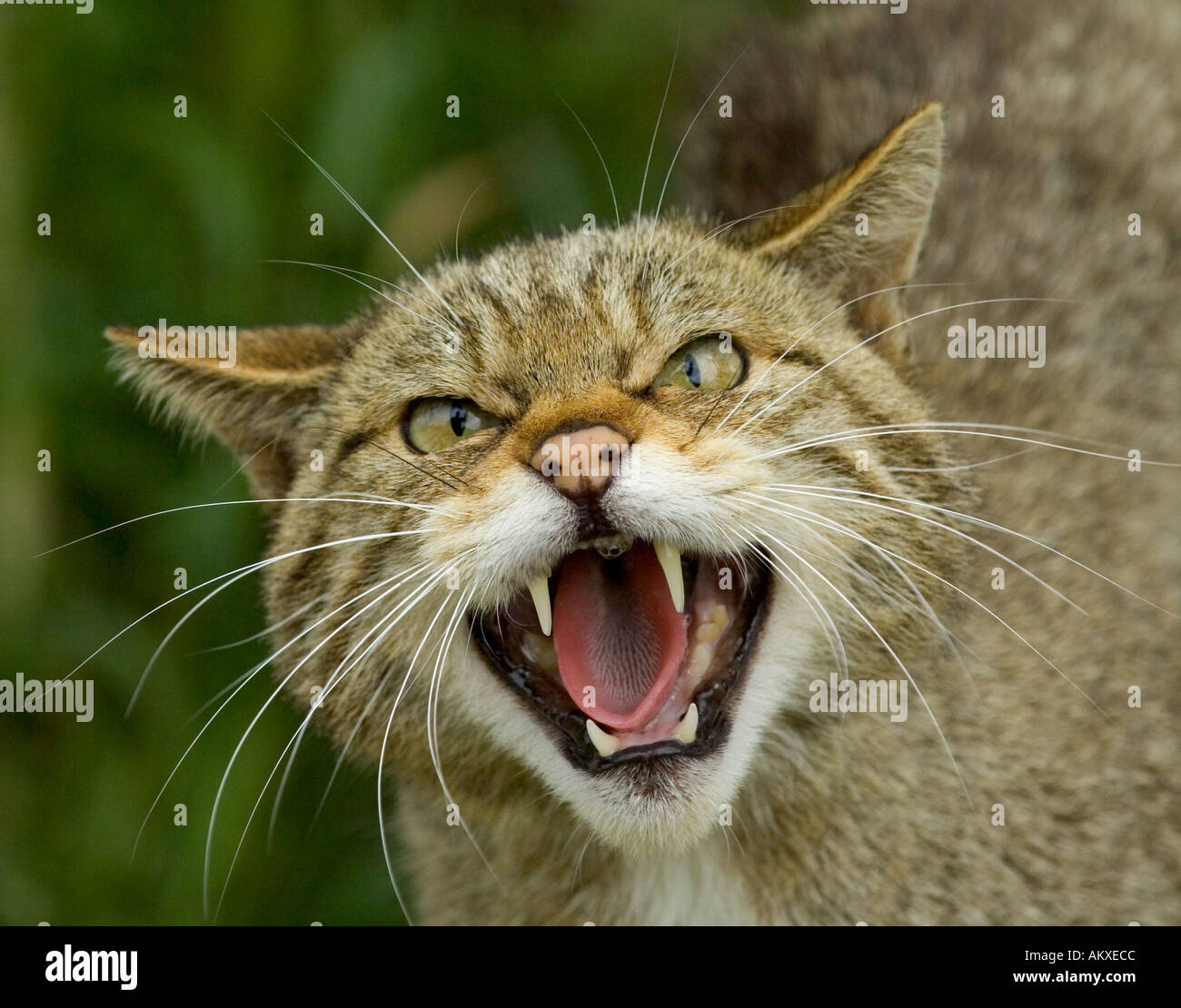 Scottish Wildcat Felis silvestris snarling Scotland - Stock Image