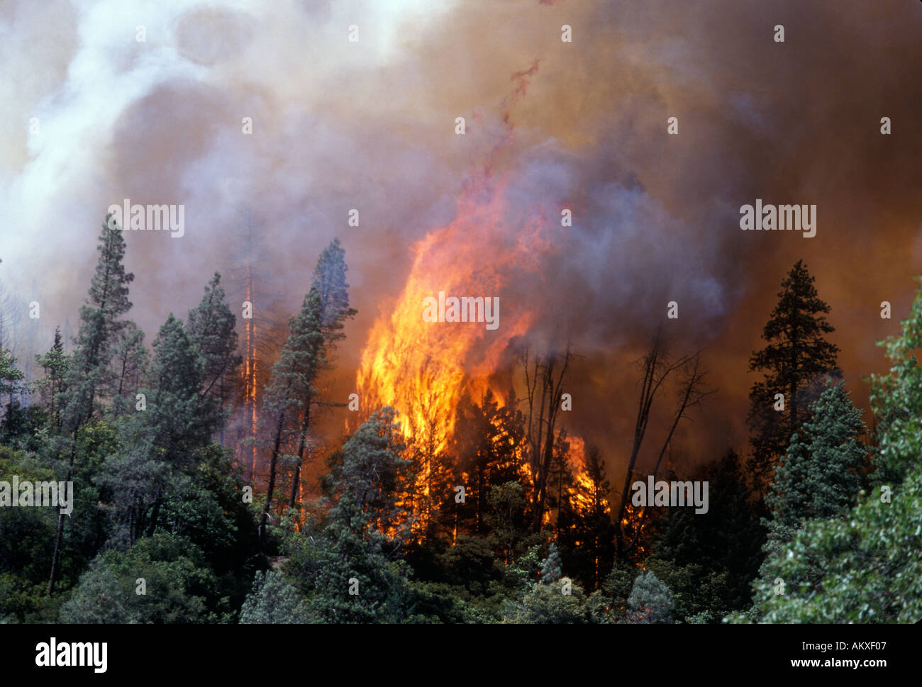 Big flames burn through conifer forest - Stock Image