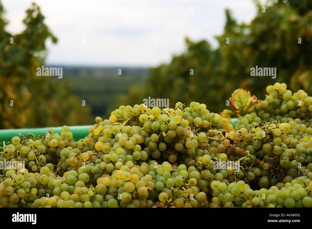 White grapes after the grape gathering, Southern Palatinate, Palatinate, Rhineland-Palatinate, Germany Stock Photo
