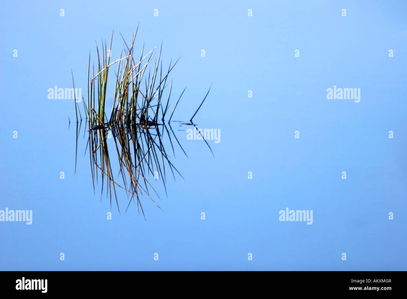 Bulrushes (Juncaceae) being reflected in the lake - Stock Image