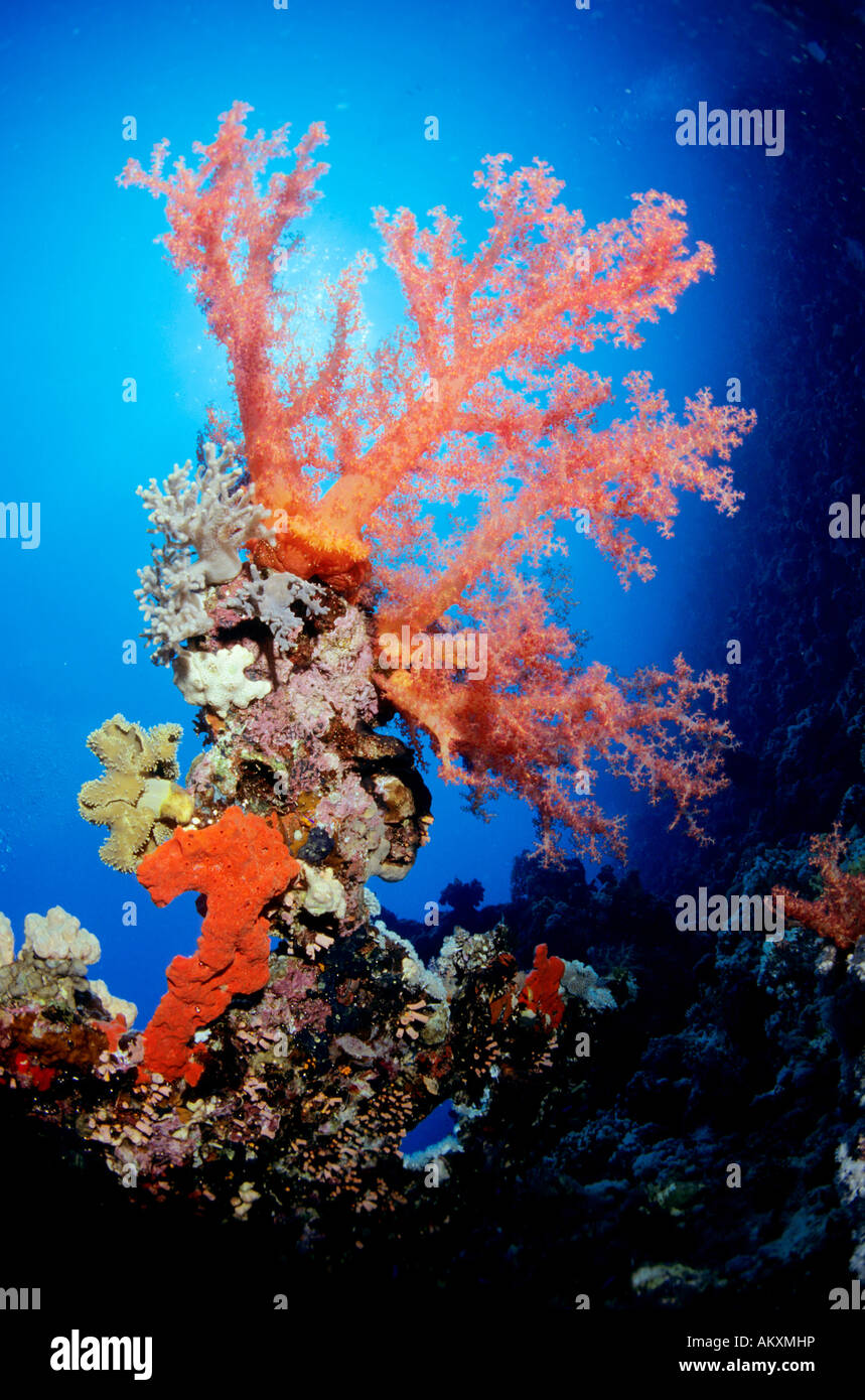Soft coral Dendronephthya, Red Sea. Stock Photo