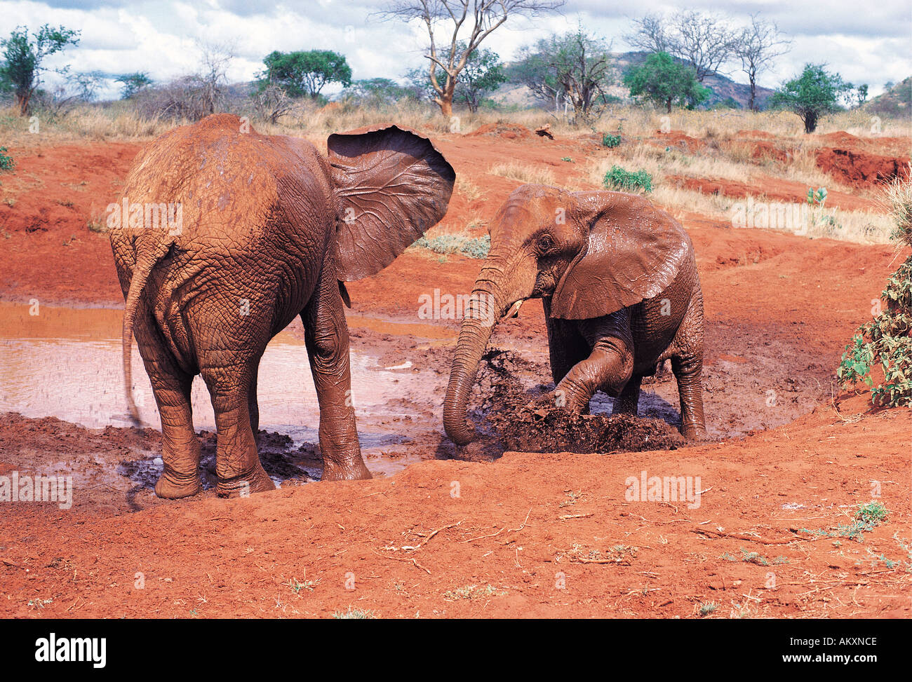 Two elephants taking a mud bath Tsavo East National Park Kenya East Africa - Stock Image