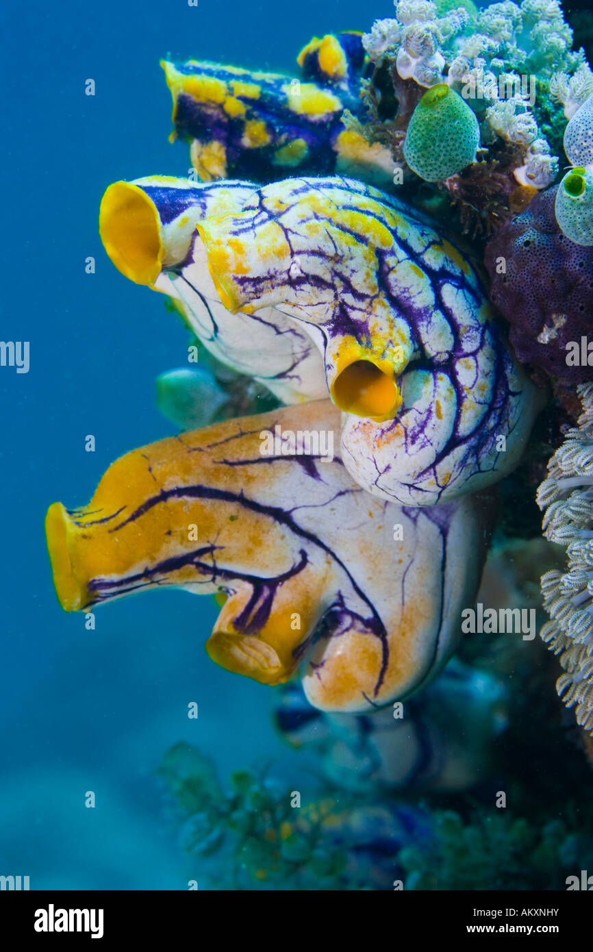 Golden Sea Squirt, Ink Spot Sea Squirt (Polycarpa aurata). Stock Photo