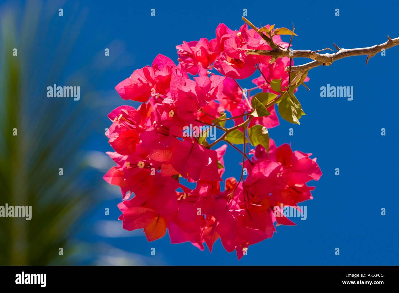Blossoming bougainvillaea (bougainvillaea sp.). Stock Photo