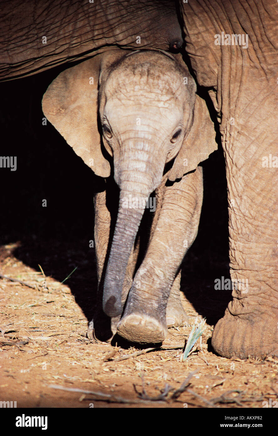 Young baby elephant sheltering in the shade of its mother Samburu National Reserve Kenya East Africa - Stock Image