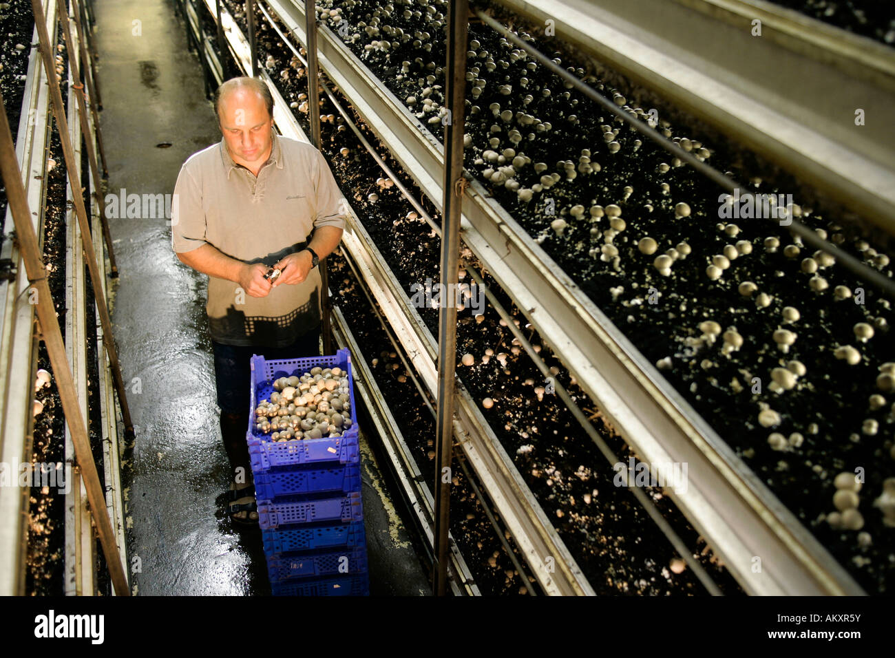 Champignon breeding in an agricultural enterprise, Hesse, Germany. - Stock Image