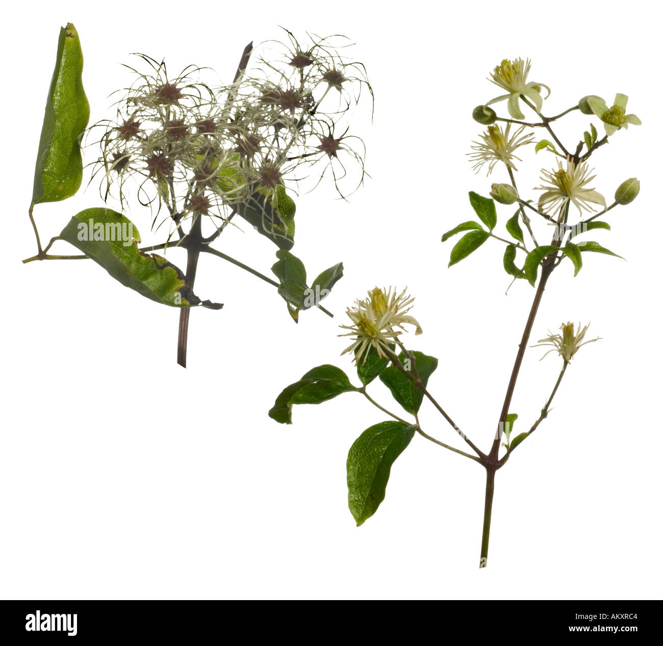Travellers Joy cutout composite. Plumed Seedheads Flowers Surrey England August - Stock Image