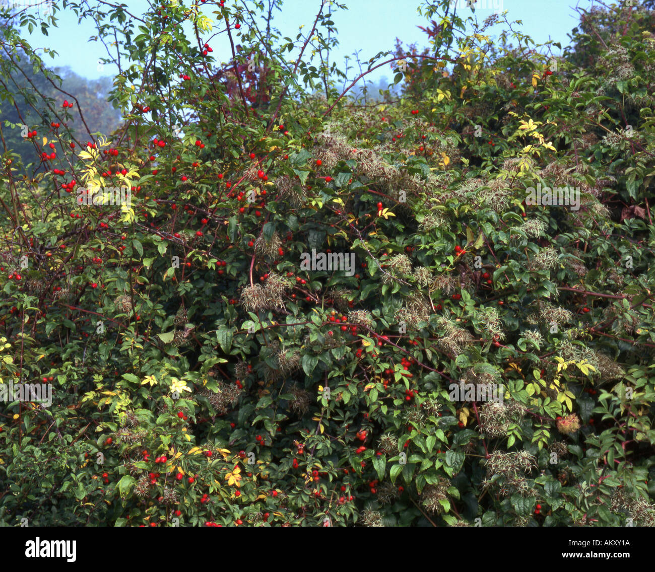 Ancient plant rich hedgerow, Autumn - Stock Image