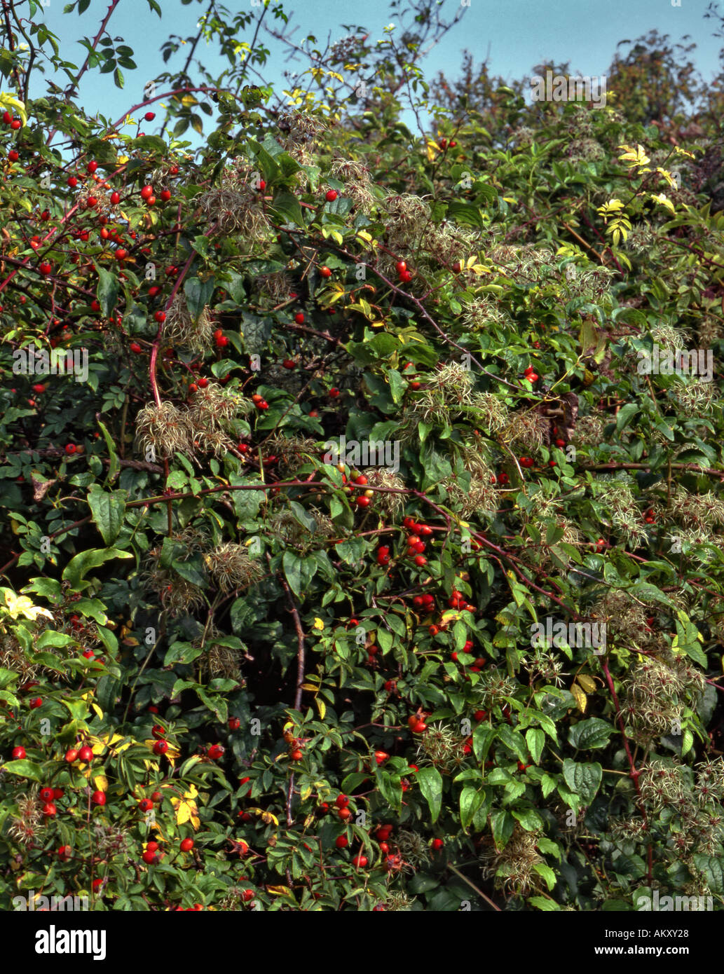 Ancient plant-rich Hedgerow flora Autumn Guildford Surrey - Stock Image