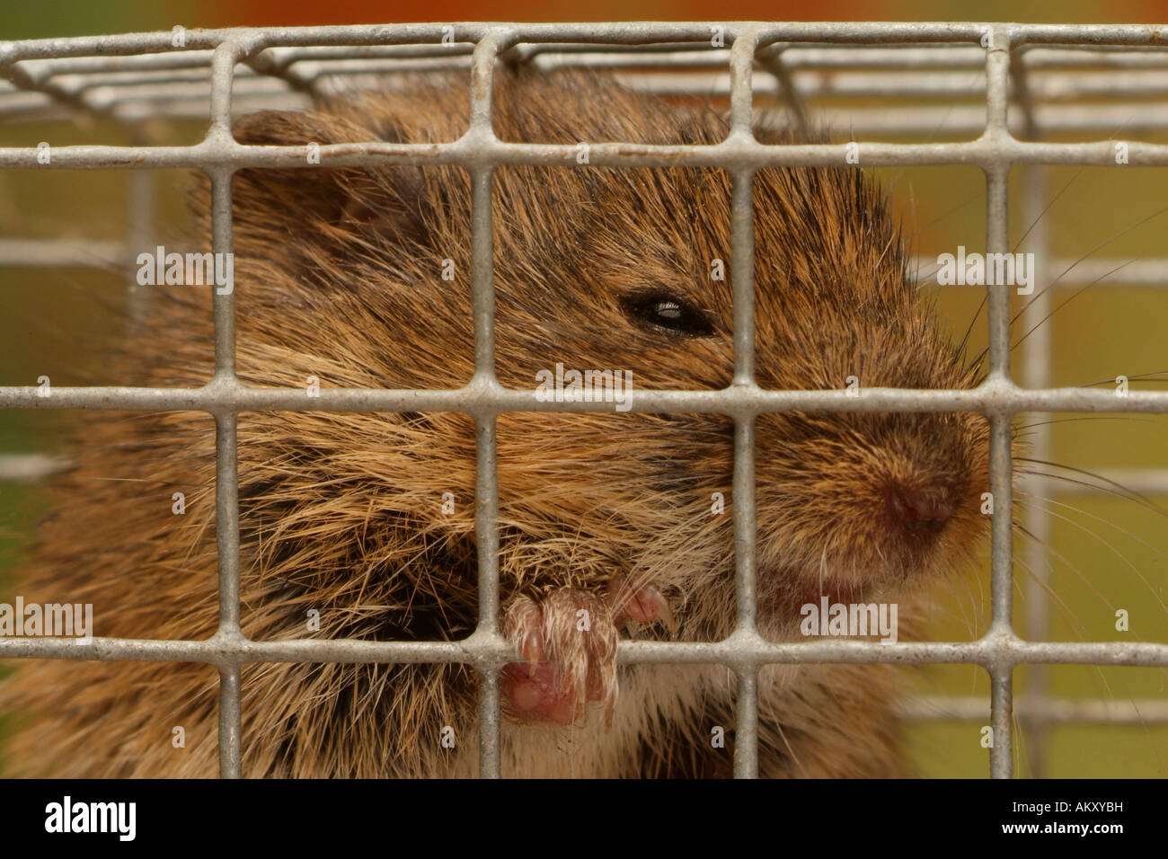 Common vole (Microtus arvalis) in a mousetrap Stock Photo