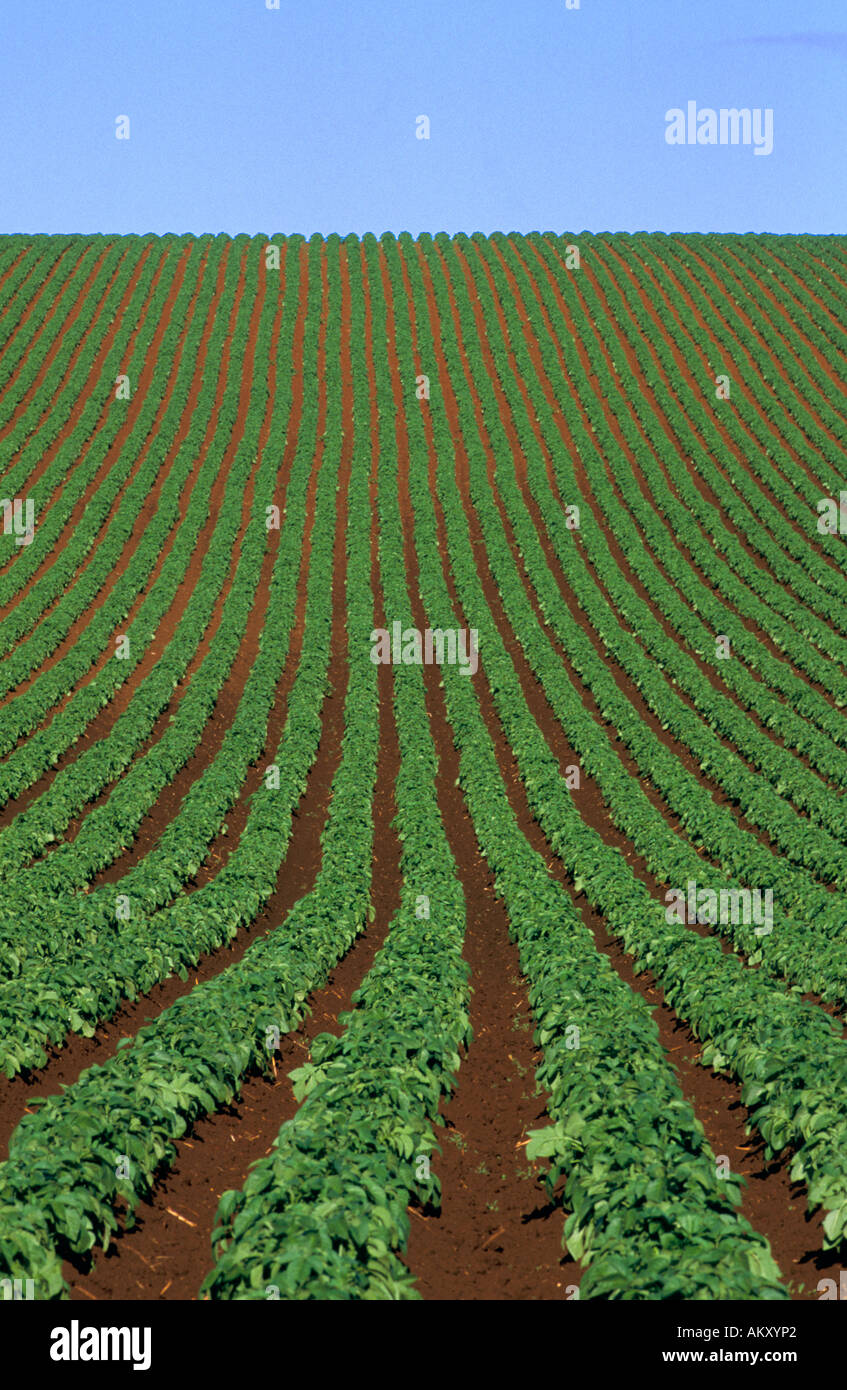 Potato crop, early summer, , Ulverstone,  , N Tasmania, Australia, vertical, - Stock Image