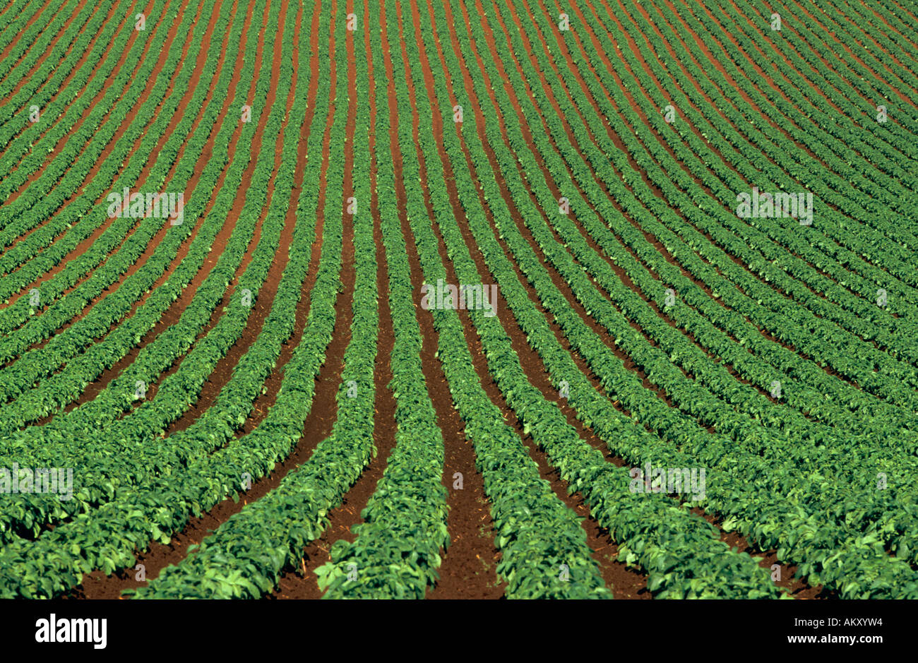 Potato crop, early summer, , Ulverstone,  Tasmania, Australia, horizontal, - Stock Image
