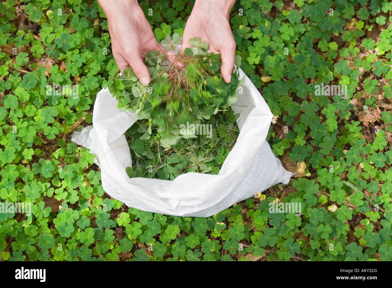 Collecting Wood Sorrell (Oxalis) for the production of remedies, Alsace, France Stock Photo