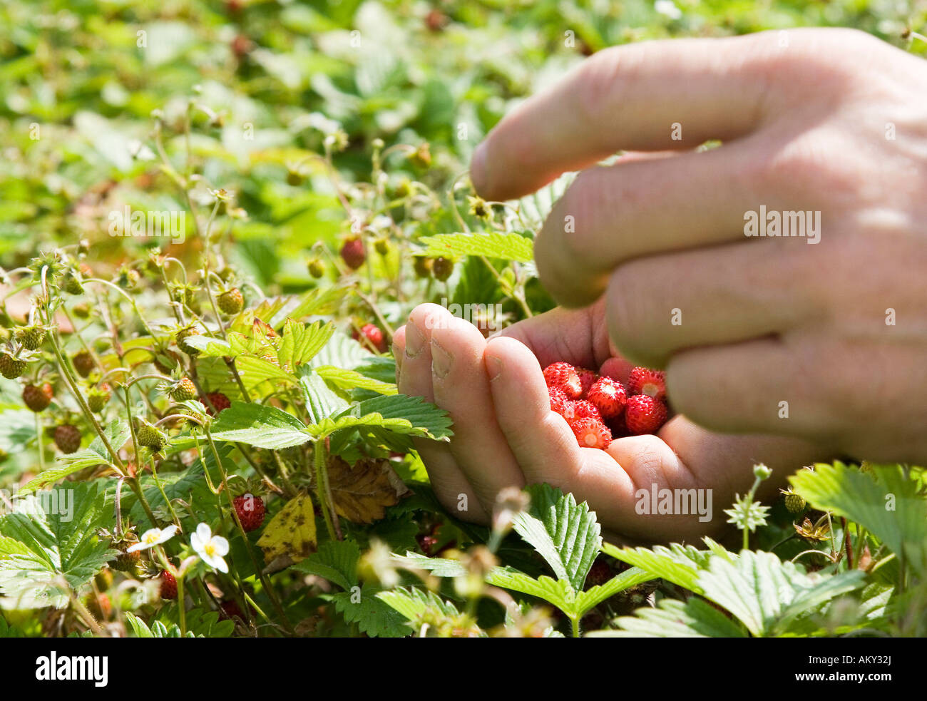 Harvesting wild strawberries for the production of remedies at the Weleda Company Stock Photo