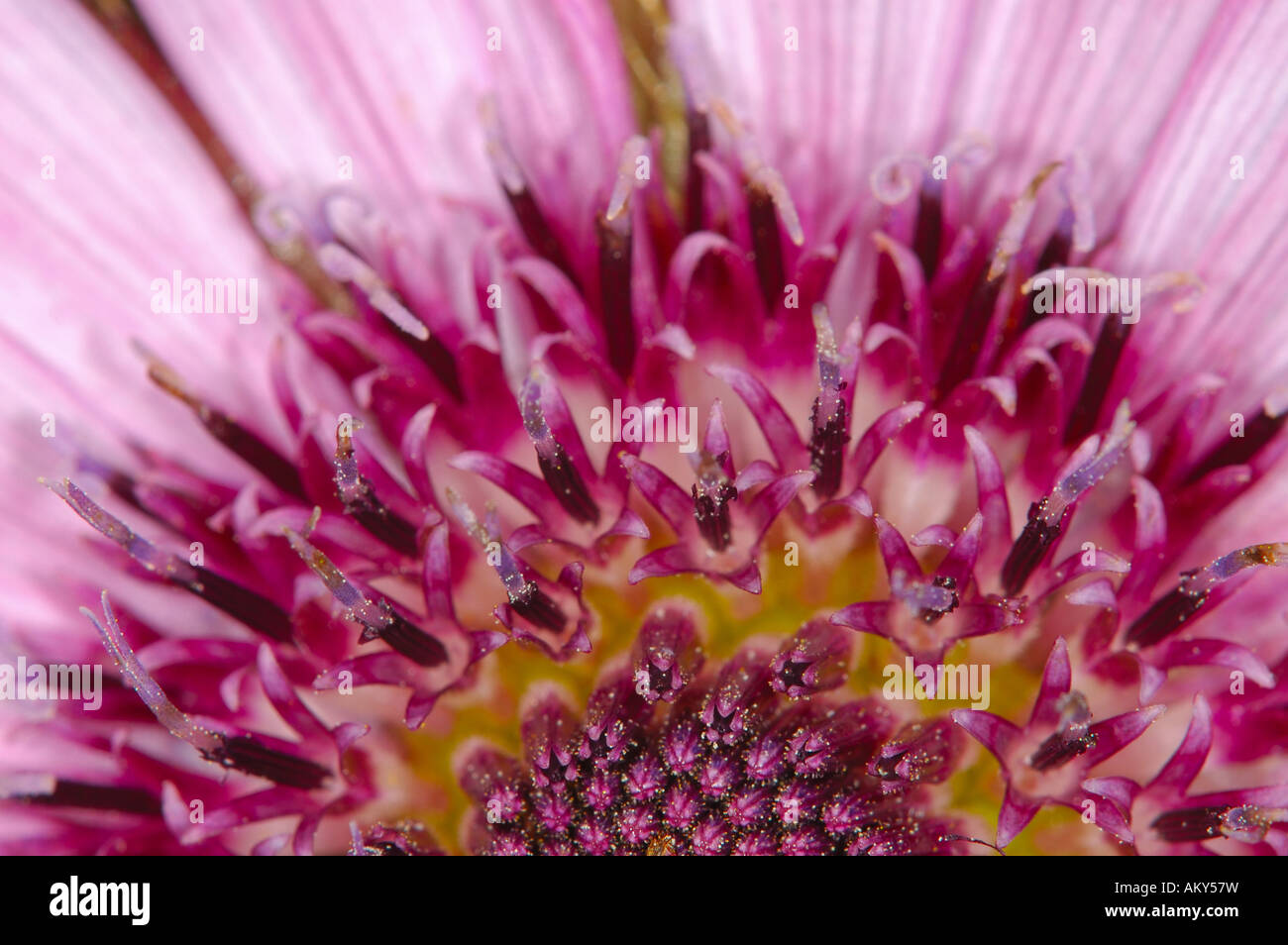 Berkheya purpurea, Asteraceae - Stock Image