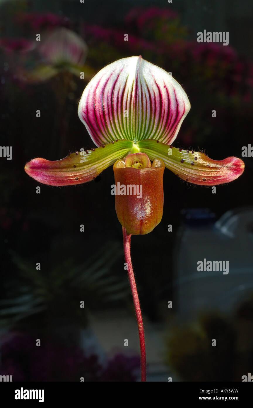 Ladyslipper hybrid, orchid of the genus Paphiopedilum - Stock Image