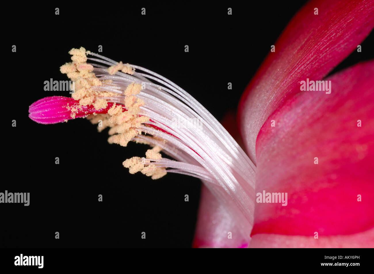 Detail of the flower of Christmas Cactus, Schlumbergera truncata - Stock Image