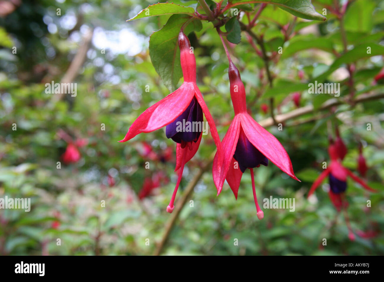 A red and purple bell shaped flower stock photo 15097349 alamy a red and purple bell shaped flower mightylinksfo