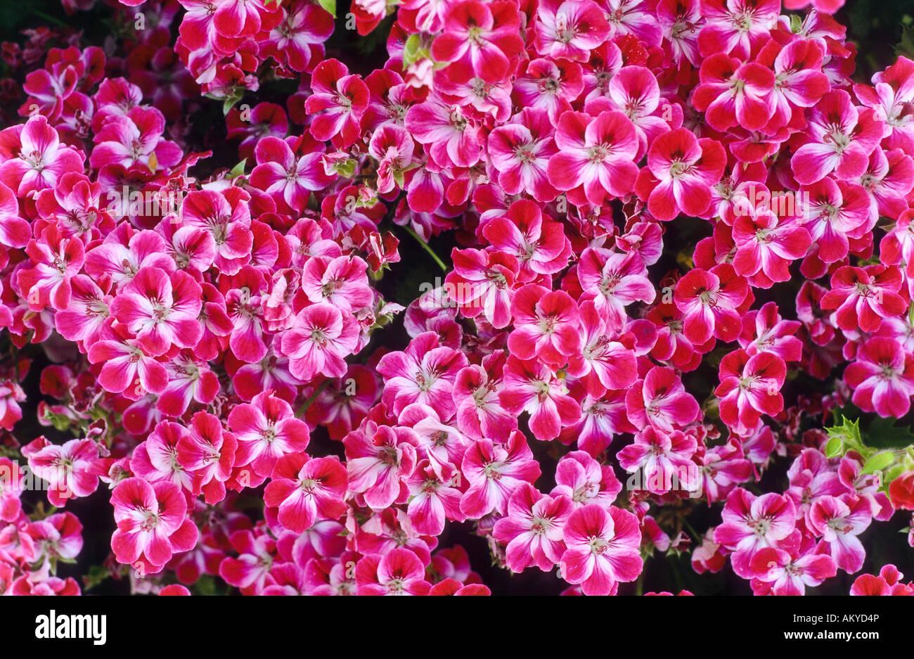 Pink flowers, Crete - Stock Image